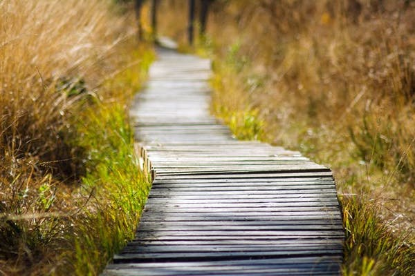 Wooden raised path through wheat field